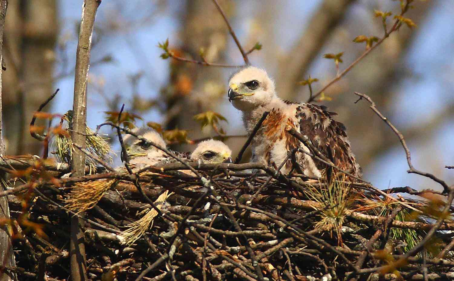 Red Tailed Hawk babies