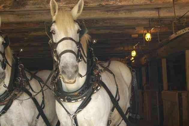 durk-devries-percheron-horses-visit-the-barn-at-moreston-summer-opening-2014